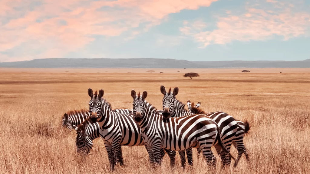 Bing Xie Vocal communication in social networks the case of the plains zebra Equus quagga