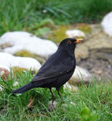 behavioural_ecology_group_blackbird