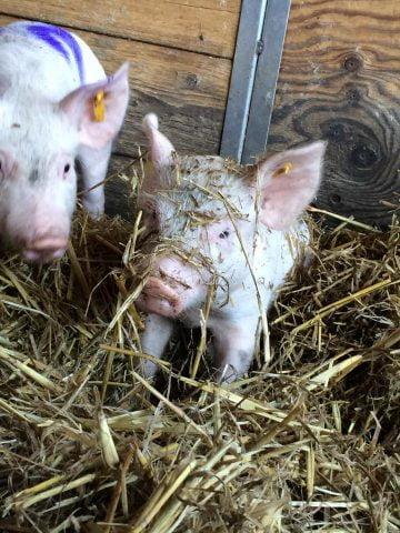 behavioural ecology group piglets
